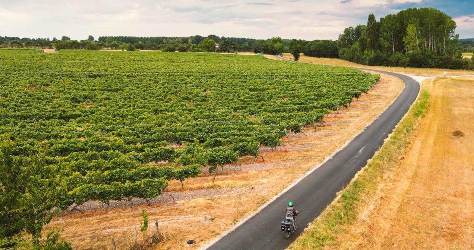 Dans les vignes de Cognac